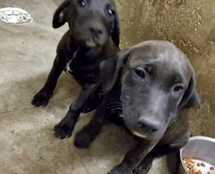 St Rocco Foundation Big Spring Texas Rescue Puppies Aug 2018