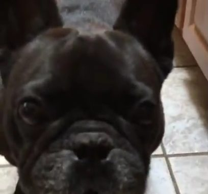 Clarence the Frenchie St Rocco Foundation Dog Rescue Animal Advocacy